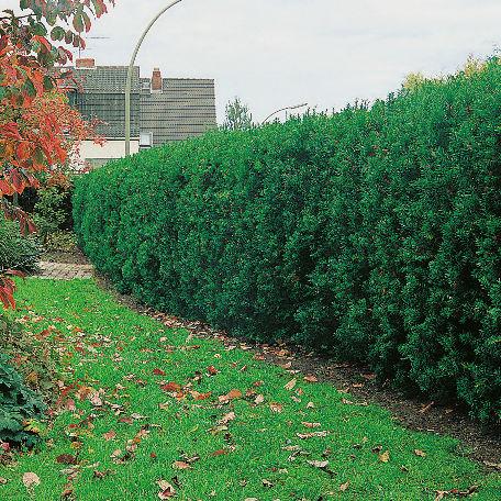 Träd & Växter | Hybridide-gran 20-30cm