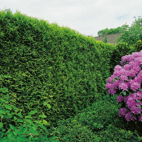 Träd & Växter | Ädelthuja Smaragd 50-70cm