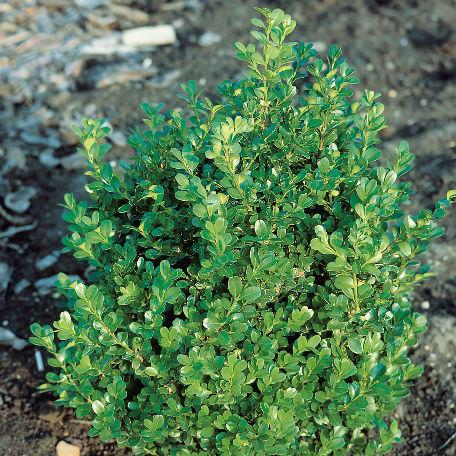 Träd & Växter | Buxbom Buxus microphylla Faulkner 30-40cm