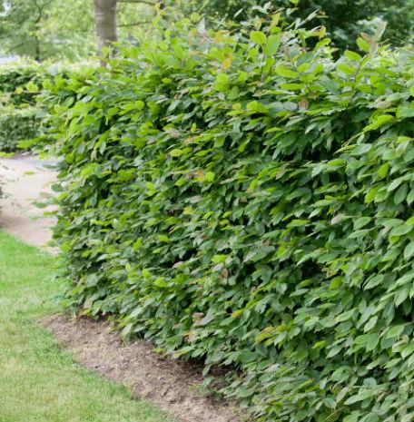 Träd & Växter | Avenbok Goliat 100-125cm