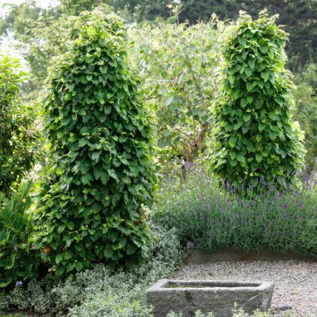 Träd & Växter | Avenbok Goliat 125-150cm