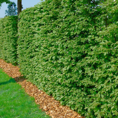 Träd & Växter | Bok Goliat 125-150cm