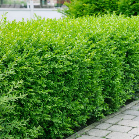 Träd & Växter | Liguster Vintergrön Goliat 125-150cm