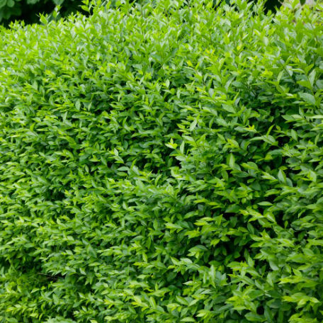 Träd & Växter | Liguster Vintergrön Goliat 150cm+ 5-pack