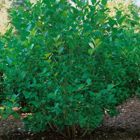 Träd & Växter | Slånaronia Goliat 80-100 cm