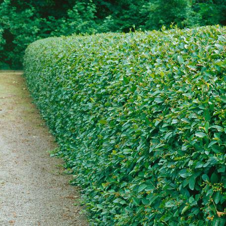Träd & Växter | Häckoxbär Goliat 80-100cm