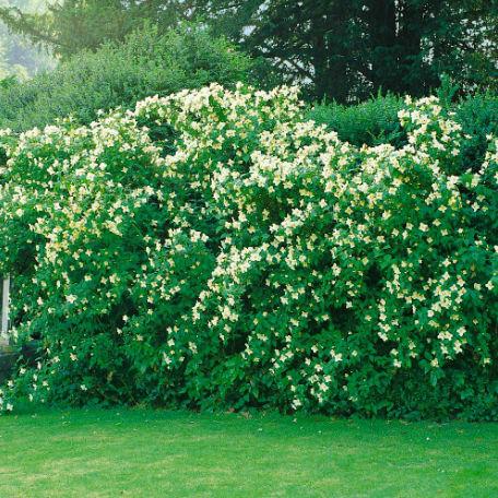 Träd & Växter | Smultronschersmin Goliat 80-100cm