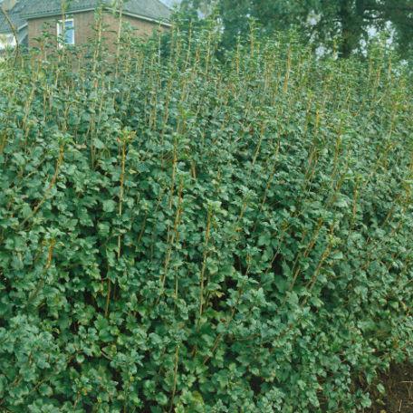 Träd & Växter | Måbär Goliat 80-100cm