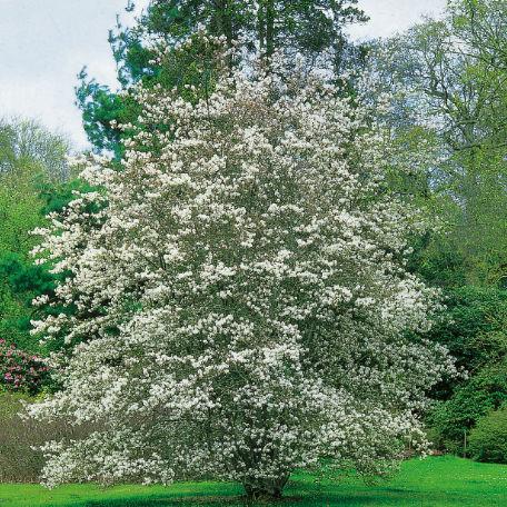 Träd & Växter | Prakthäggmispel