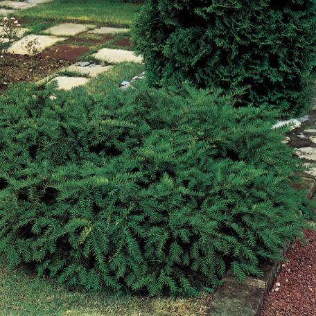 Träd & Växter | Idegran Kryp