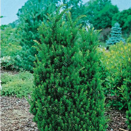 Träd & Växter | Idegran Hillii