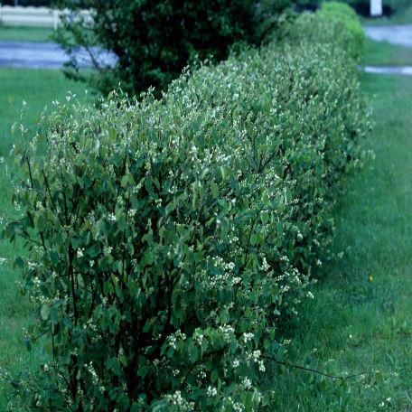 Träd & Växter | Häggmispel 50-80 cm
