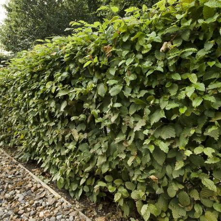 Träd & Växter | Avenbok 30-50 cm