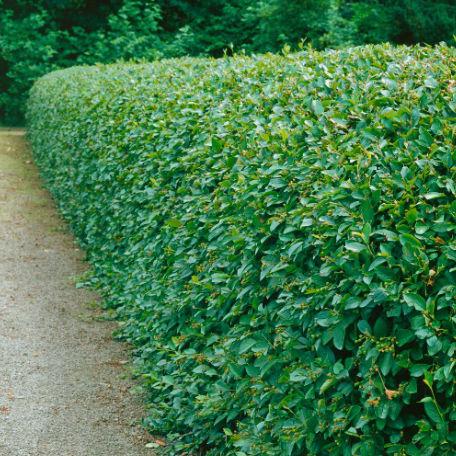 Träd & Växter | Häckoxbär 50-80 cm