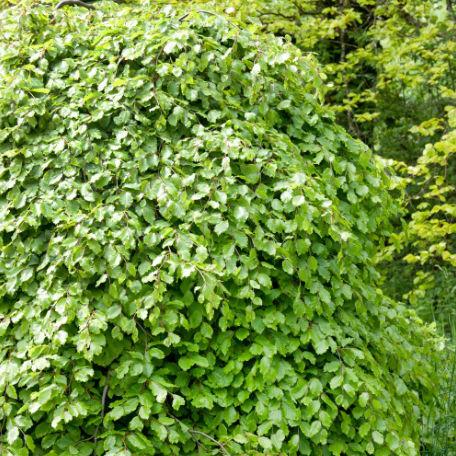 Träd & Växter | Bok Häck 60-100 cm