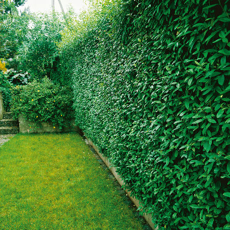 Träd & Växter | Liguster 50-80 cm