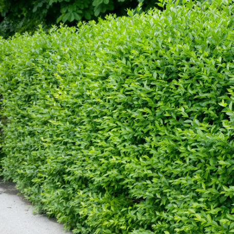 Träd & Växter | Vintergrön Liguster, 60-100 cm