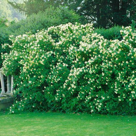 Träd & Växter | Smultronshersmin 30-50 cm