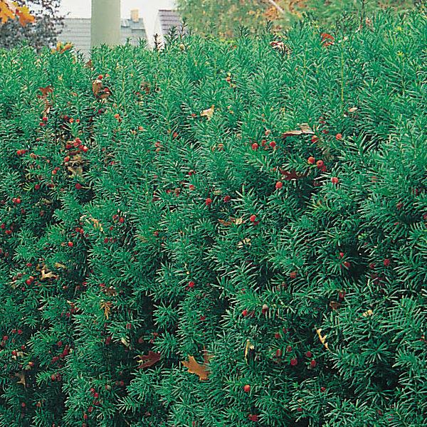Träd & Växter | Idegran 20-30cm