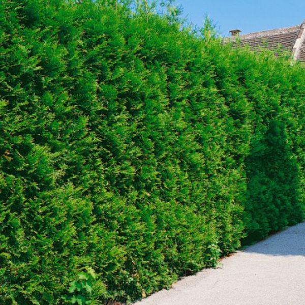 Träd & Växter | Tujahäck Brabant 15-40 cm