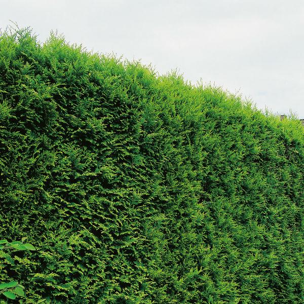 Träd & Växter | Ädelthuja Smaragd 80-100cm