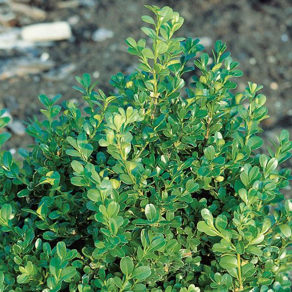 Träd & Växter | Buxbom Buxus microphylla Faulkner 15-20 cm