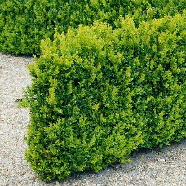 Träd & Växter | Buxbom Buxus sempervirens 15-20 cm