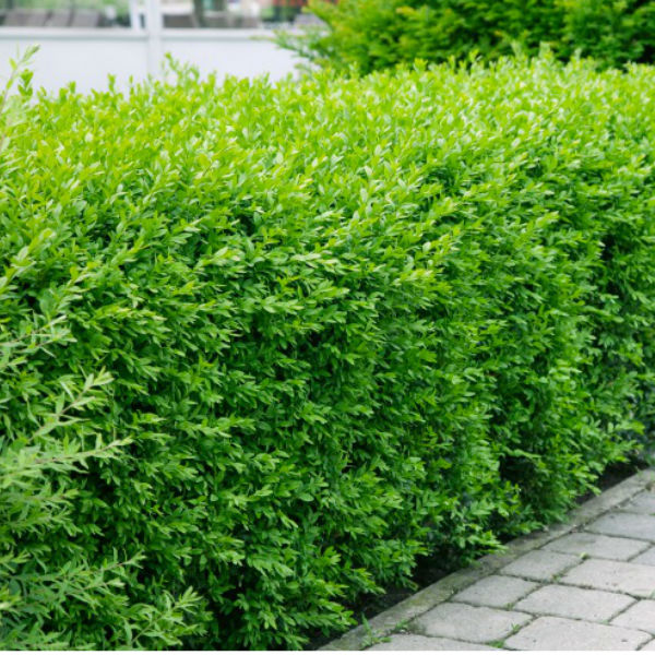 Träd & Växter | Liguster Vintergrön Goliat 80-120cm