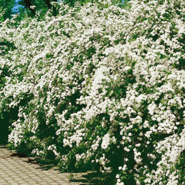 Träd & Växter   Bukettspirea Goliat 80-100cm