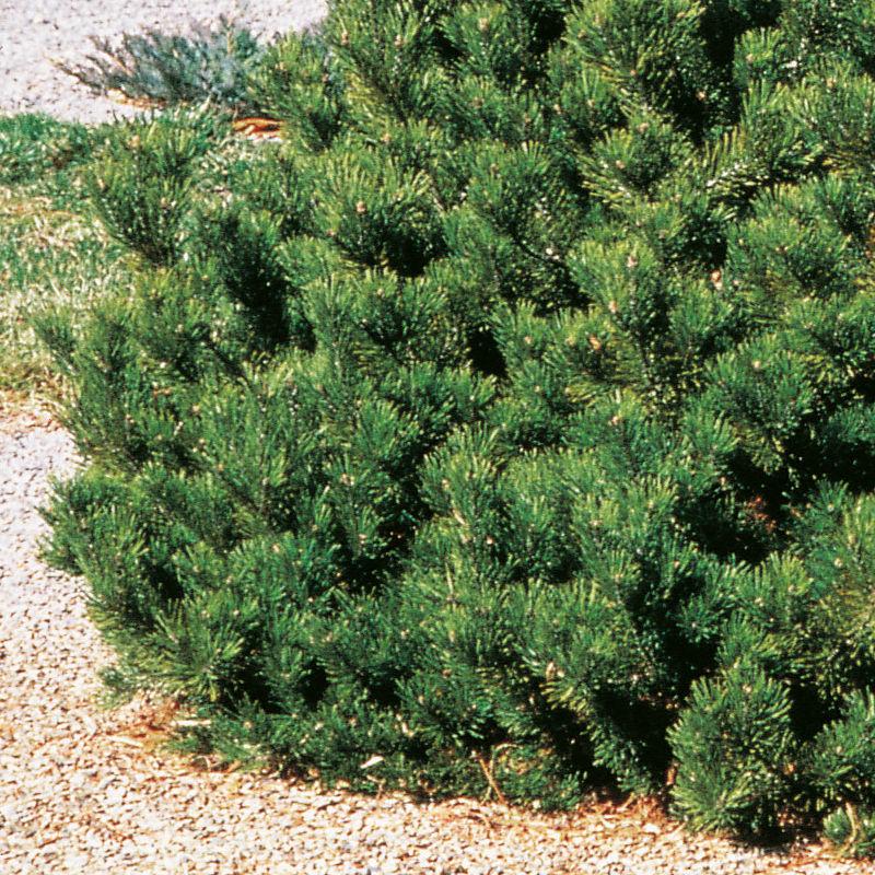 Träd & Växter | Bergtall