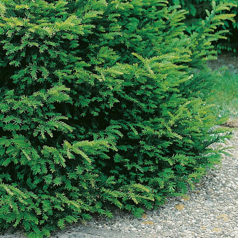 Träd & Växter | Idegran