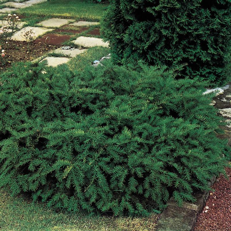 Träd & Växter   Idegran Kryp
