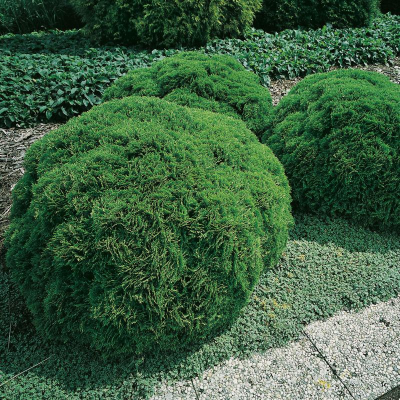 Träd & Växter | Dansk Klottuja