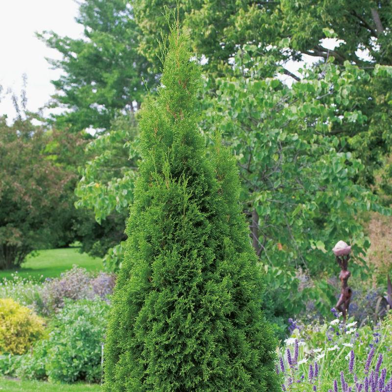 Träd & Växter | Ädel Tuja