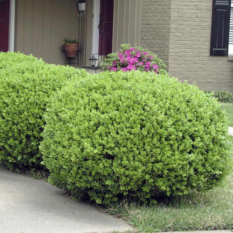 Träd & Växter | Buxbom klotform