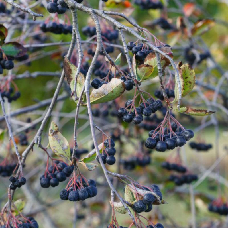 Träd & Växter | Svart Aronia 30-50 cm