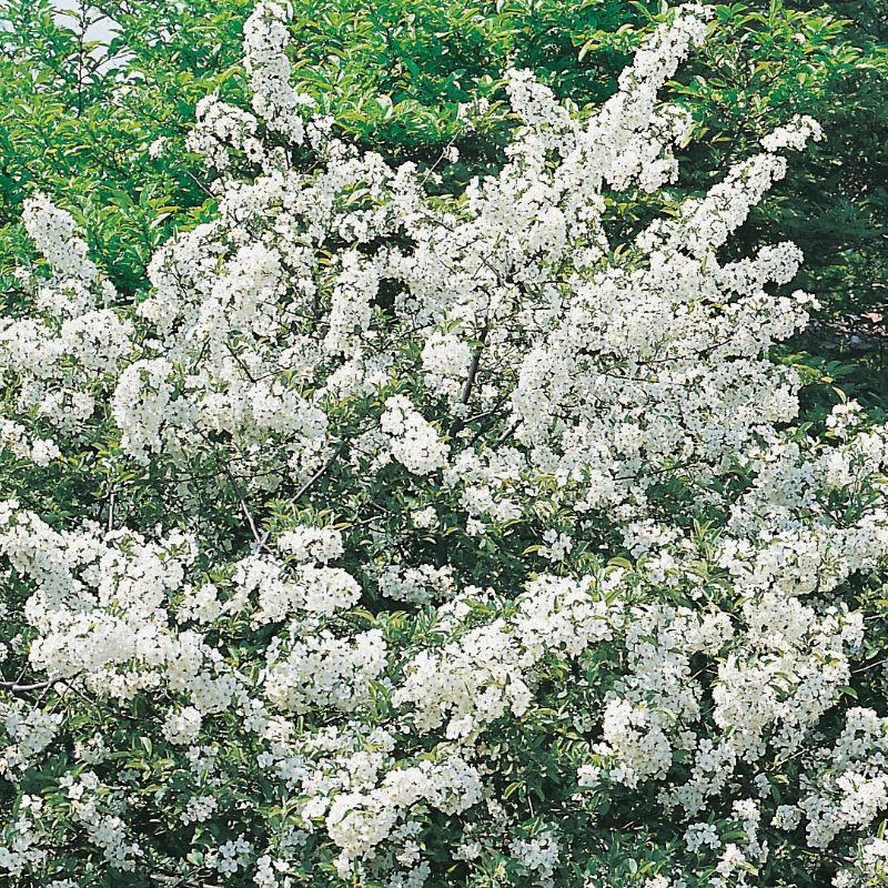 Träd & Växter | Bukettapel 50-80 cm